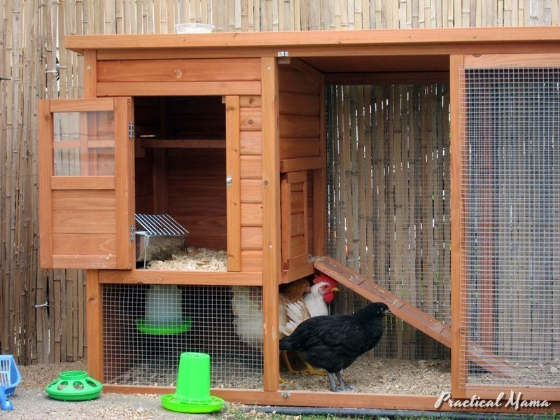 Our backyard chickens and new coop