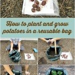 How to grow potatoes in a reusable bag
